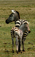 Mother & Child - Zebra style